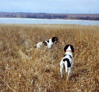 Spaniels-in-the-field