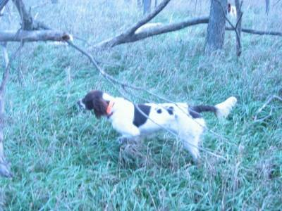 Spaniel-pointing