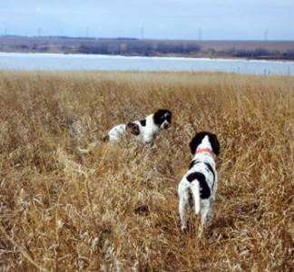 Spaniels-in-the-field