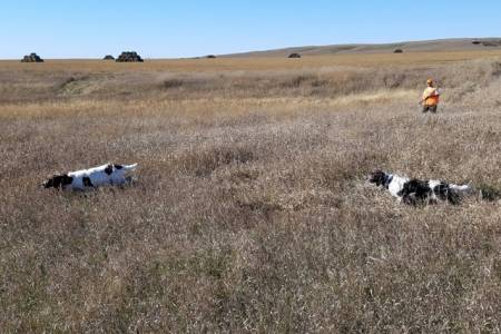 Spaniels-pointing-in-the-field